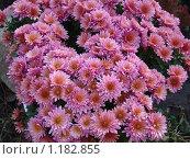 Розовые хризантемы. Стоковое фото, фотограф Татьяна Новичкова / Фотобанк Лори