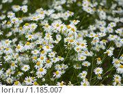 Купить «Раз ромашка, два ромашка», фото № 1185007, снято 14 июля 2009 г. (c) Григорий Погребняк / Фотобанк Лори