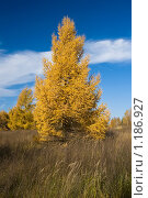 Желтая лиственница. Стоковое фото, фотограф Евгений Нелихов / Фотобанк Лори