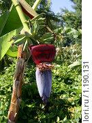 Цветок бананового дерева. Стоковое фото, фотограф Алексеев Борис / Фотобанк Лори