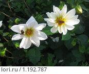 Купить «Шмель и пчела на цветах», фото № 1192787, снято 27 сентября 2009 г. (c) Виктор Юрасов / Фотобанк Лори