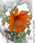 Календула на первом снегу. Стоковое фото, фотограф Багира / Фотобанк Лори