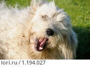 Купить «Южно-русская овчарка», фото № 1194027, снято 30 сентября 2009 г. (c) Иванов Аркадий Николаевич / Фотобанк Лори