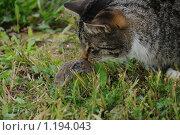 Кот и мышь. Стоковое фото, фотограф Иванов Аркадий Николаевич / Фотобанк Лори