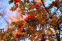 Ветки рябины, фото № 1194331, снято 9 октября 2005 г. (c) Бабенко Денис Юрьевич / Фотобанк Лори