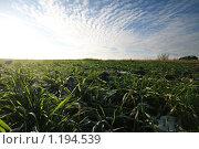 Озимые и синее небо. Стоковое фото, фотограф Андрей Варенков / Фотобанк Лори