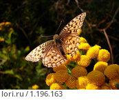 Бабочка и пижма. Стоковое фото, фотограф Александр Гаврилов / Фотобанк Лори
