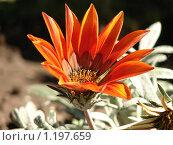 Цветок гацания. Стоковое фото, фотограф Дмитрий Янкин / Фотобанк Лори