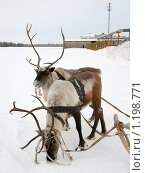 Купить «Два северных оленя стоят в упряжи зимой», фото № 1198771, снято 17 января 2008 г. (c) Владимир Мельников / Фотобанк Лори