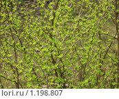 Нежная весенняя зелень. Стоковое фото, фотограф Асадчева Марина / Фотобанк Лори