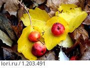 Яблоки на осенних листьях. Стоковое фото, фотограф Наталья Хваткова / Фотобанк Лори