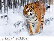 Купить «Сибирский тигр в зоопарке», фото № 1203939, снято 7 февраля 2009 г. (c) Петр Кириллов / Фотобанк Лори