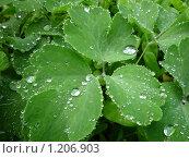 Капли на листьях. Стоковое фото, фотограф Олег Вихарев / Фотобанк Лори
