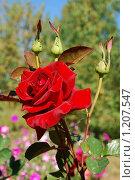 Роза. Стоковое фото, фотограф Анна Омельченко / Фотобанк Лори