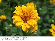 Пчелка на желтом цветке. Стоковое фото, фотограф Кукушкин Иван / Фотобанк Лори
