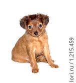 Купить «Карманная собачка», фото № 1215459, снято 15 ноября 2009 г. (c) Илья Забежинский / Фотобанк Лори