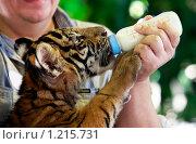 Купить «Искусственное  вскармливание тигренка», фото № 1215731, снято 2 ноября 2009 г. (c) Морозова Татьяна / Фотобанк Лори