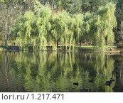 Ивы на берегу. Стоковое фото, фотограф Татьяна Емельянова / Фотобанк Лори