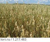 Овес в поле. Стоковое фото, фотограф Татьяна Емельянова / Фотобанк Лори