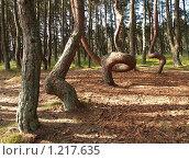 """Купить «""""Танцующий лес"""" на Куршской косе», эксклюзивное фото № 1217635, снято 29 июня 2009 г. (c) Ирина Борсученко / Фотобанк Лори"""