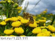 Купить «Оса на цветке пижмы», эксклюзивное фото № 1221111, снято 31 июля 2008 г. (c) lana1501 / Фотобанк Лори