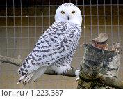 Купить «Пестрая сова с белой головой и желтыми глазами вполоборота.В парке птиц», фото № 1223387, снято 11 октября 2009 г. (c) Рябков Александр / Фотобанк Лори