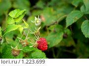 Купить «Ягода малина», фото № 1223699, снято 13 сентября 2009 г. (c) тб / Фотобанк Лори
