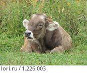 Купить «Корова», фото № 1226003, снято 20 августа 2009 г. (c) Иван / Фотобанк Лори