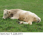 Купить «Корова», фото № 1226011, снято 20 августа 2009 г. (c) Иван / Фотобанк Лори