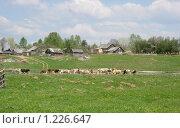 Купить «Стадо пасется в поле около деревни», фото № 1226647, снято 11 мая 2008 г. (c) Анастасия Некрасова / Фотобанк Лори