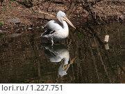 Пеликан и его отражение. Московский зоопарк. Стоковое фото, фотограф Павел Красихин / Фотобанк Лори