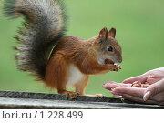 Купить «Белка берёт орехи с руки», эксклюзивное фото № 1228499, снято 8 сентября 2009 г. (c) Александр Тарасенков / Фотобанк Лори