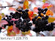 Купить «Черноплодная рябина», фото № 1228715, снято 10 октября 2009 г. (c) Ирина Еськина / Фотобанк Лори