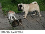 Мопс  и котята. Стоковое фото, фотограф Сергей Прокопьев / Фотобанк Лори