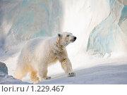 Купить «Белый медведь», фото № 1229467, снято 20 февраля 2009 г. (c) Александр Жильцов / Фотобанк Лори