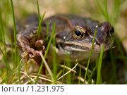 Лягушка. Стоковое фото, фотограф Александр Жильцов / Фотобанк Лори