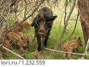 Кабанья семья. Стоковое фото, фотограф Сергей Прокопьев / Фотобанк Лори