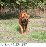 Купить «Собака готовится к нападению», фото № 1234287, снято 4 октября 2009 г. (c) Олег Хархан / Фотобанк Лори