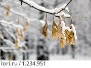 Кленовые сережки на заснеженной ветке. Стоковое фото, фотограф Михаил Пименов / Фотобанк Лори