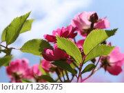 Розы. Стоковое фото, фотограф Екатерина Петрухина / Фотобанк Лори
