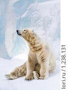 Купить «Молодой полярный медведь», фото № 1238131, снято 7 февраля 2009 г. (c) Петр Кириллов / Фотобанк Лори