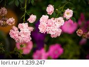 Купить «Дикие розы», фото № 1239247, снято 7 августа 2009 г. (c) Филонова Ольга / Фотобанк Лори