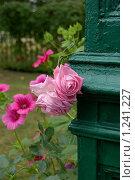 Ветвь розы на старой деревянной колонне. Стоковое фото, фотограф Моисеева Галина / Фотобанк Лори