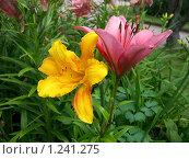 Две лилии. Стоковое фото, фотограф Моисеева Галина / Фотобанк Лори