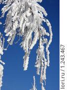 Купить «Берёза зимняя», фото № 1243467, снято 21 февраля 2009 г. (c) Yanchenko / Фотобанк Лори