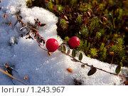 Купить «Ягоды клюквы на первом снегу», фото № 1243967, снято 15 октября 2009 г. (c) Икан Леонид / Фотобанк Лори