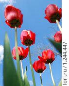 Купить «Красные тюльпаны на фоне голубого неба», эксклюзивное фото № 1244447, снято 10 мая 2009 г. (c) Юрий Морозов / Фотобанк Лори