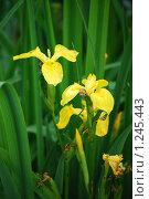 Купить «Ирис болотный, аировидный (Iris pseudacorus)», фото № 1245443, снято 30 июня 2008 г. (c) Анастасия Некрасова / Фотобанк Лори