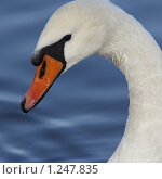Купить «Голова лебедя с красиво изогнутой шеей», фото № 1247835, снято 11 октября 2009 г. (c) Владимир Борисов / Фотобанк Лори