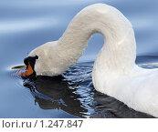 Купить «Лебедь плывёт с опущенным в воду клювом», фото № 1247847, снято 11 октября 2009 г. (c) Владимир Борисов / Фотобанк Лори